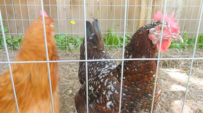 stock-footage-two-chickens-in-chicken-coop-roam-around-curiously