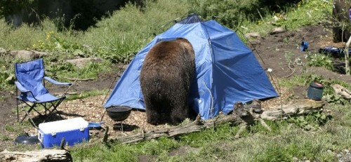 Bear Euthanized After Breaking into Tents By angelamontana & Bear Euthanized After Breaking into Tents - Montana Hunting and ...