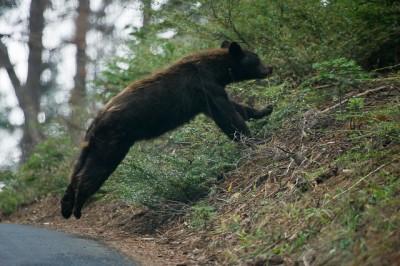 Bear Running Across Road