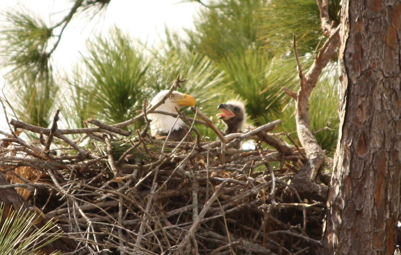 Baby_Bald_Eagle_in_nest_(cropped)