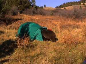 (goawaybear.com) & Bear Euthanized After Breaking into Tents - Montana Hunting and ...
