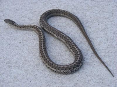 garter snake67