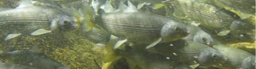 mountainwhitefish