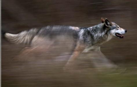 wolf-running