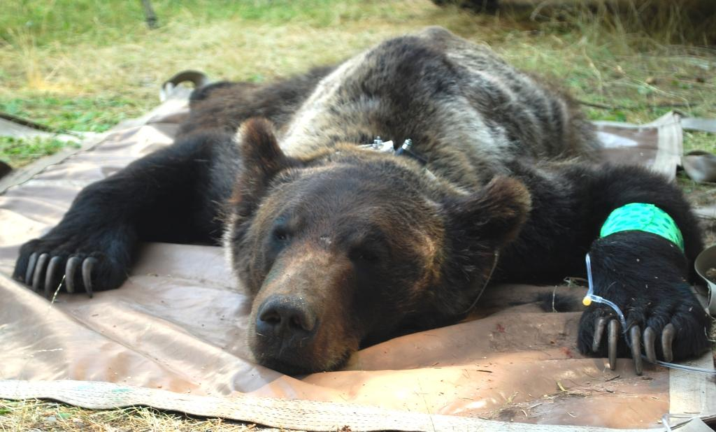 Young Male Grizzly Relocated To The Cabinet Mountains