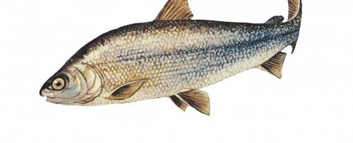 Lake whitefish. Coregonus clupeaformis.