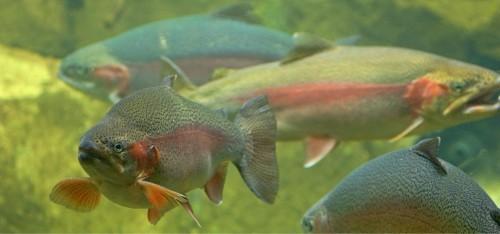 BeFunky_H_orig_rainbow_trout_salmon_gal.jpg