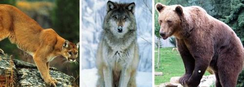 bear  wolf mountain lion