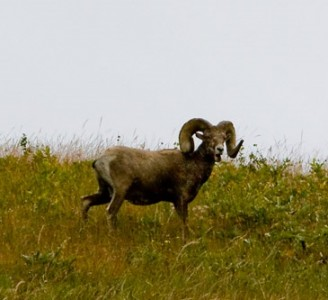 big_horn_sheep