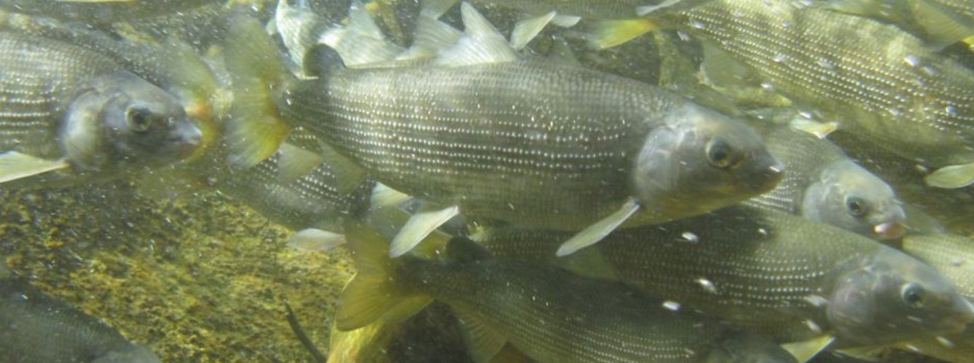 Latest whitefish report a mixed bag montana hunting and for Whitefish montana fishing