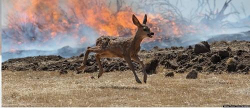 o-BABY-DEER-FLEES-WILDFIRE-facebook (1)