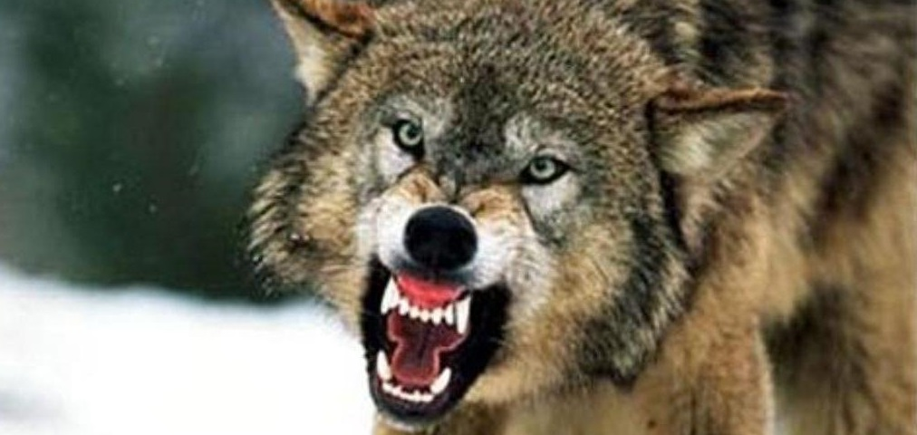 Grey Wolf Rv >> FIRST EVER GRAY WOLF ATTACK IN MINNESOTA–IS THIS THE FUTURE OF MONTANA? | Montana Hunting and ...