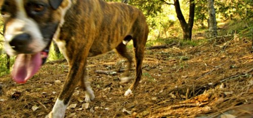 BeFunky_Domestic-Dog-Camera-Trap1.jpg