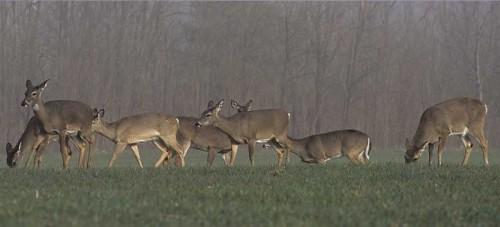 TKD1051_Deer-Herd-Foraging