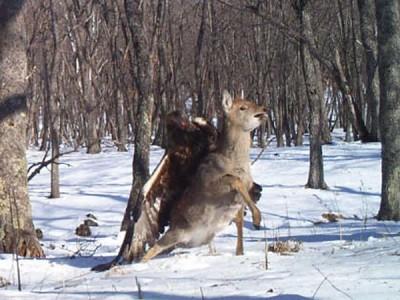 deer:eagle