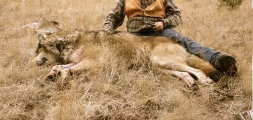 gardiner-montana-wolf-hunting-006-1024x768