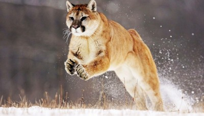 23169_large_Mountain_Lion_Wide