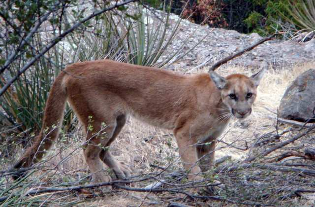 Three Mountain Lion Sightings In Missoula Montana