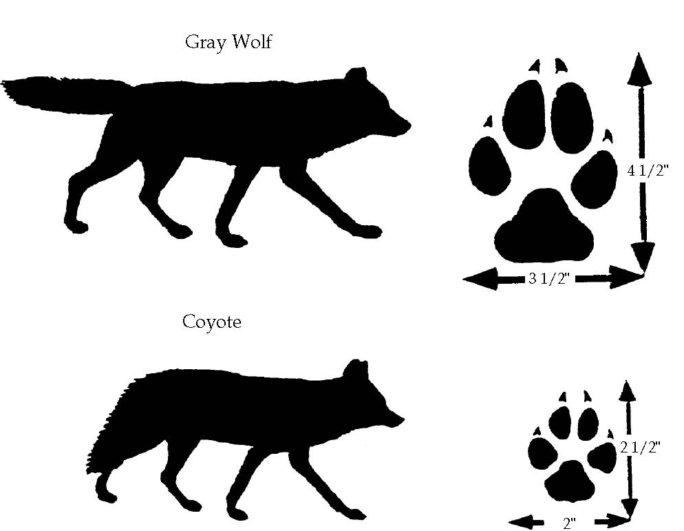 identifying coyotes and wolves
