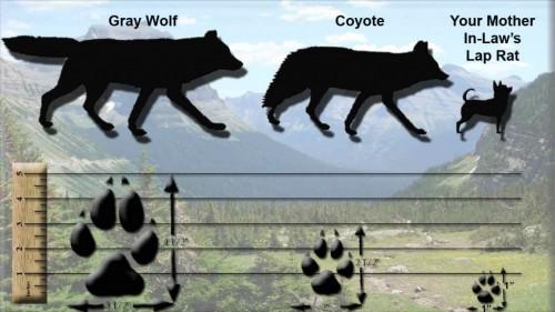 wolf-vs-coyote-1024x577