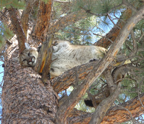 Mountain Lion Mountain Lion Hunting To Close In Hunting