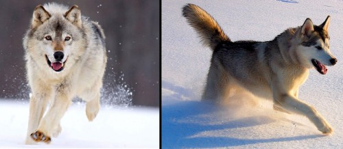 Mixers Mixers Vicking Vs Wolf ~ Test your wolf identification skills montana hunting and
