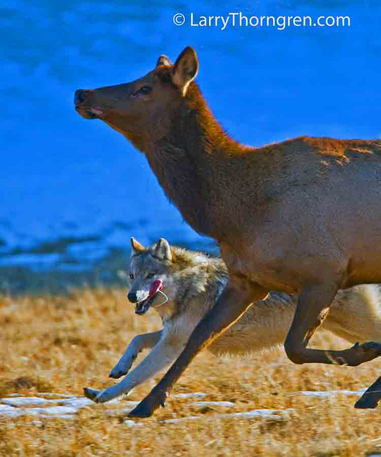 IMG_6353-Wolves-&-Elk-11x14
