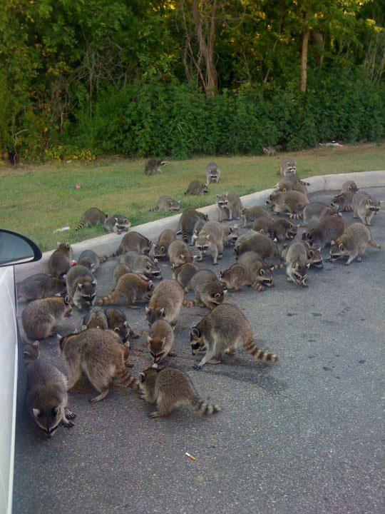 Dozens of raccoons bombard people for doritos montana for Do raccoons eat fish
