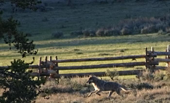 Montana Wolf Harvest Update 12 6 16 Montana Hunting