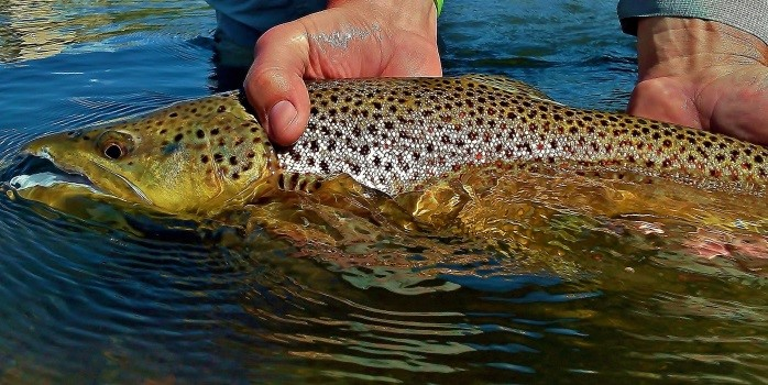 Beaverhead river fishing report by michael stack for Beaverhead fishing report
