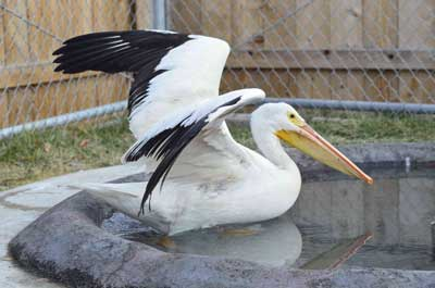 Both of these American White Pelicans were rescued after being left behind by their flock. Neither one would have survived the winter due to the permanent nature of their injuries so they are resting at the Wildlife Center while awaiting transfer to the Sacramento Zoo..