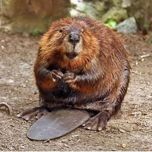 large_real_Beaver_tail