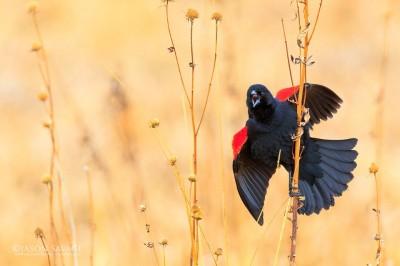 Jason-Savage-Red-Winged-Blackbird