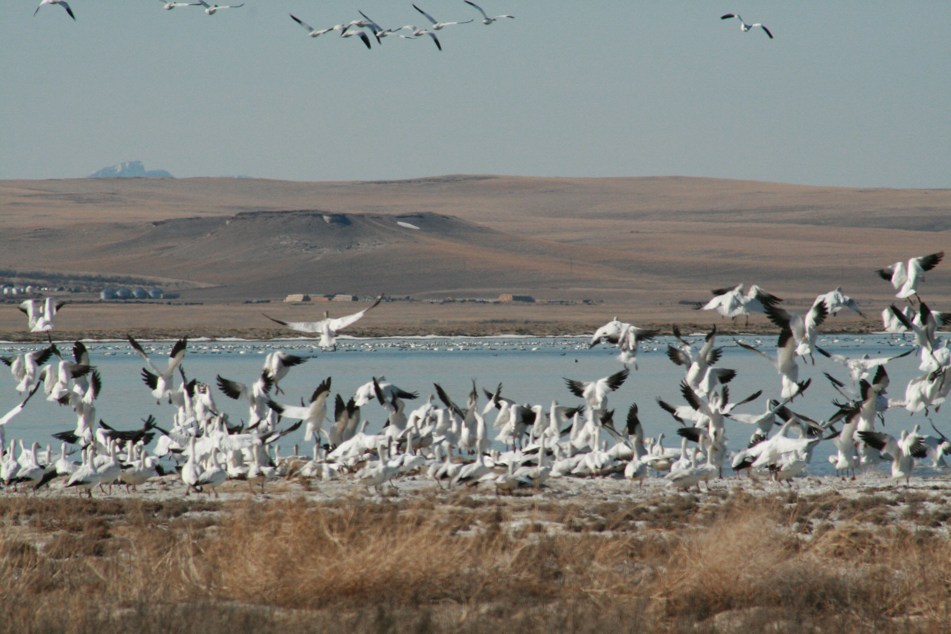 Freezout Lake Snow Goose Migration At Its Peak Montana