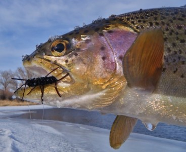 """Caption: This Big Hole River rainbow couldn't say """"NO"""" to a Pat's Rubber legged stone fly nymph."""