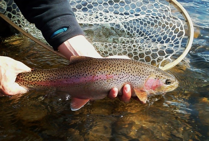 Upper madison river fishing report by michael for Upper madison fishing report