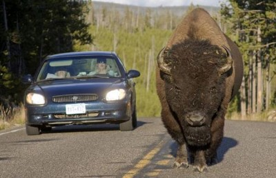 Bison-car_1368431i