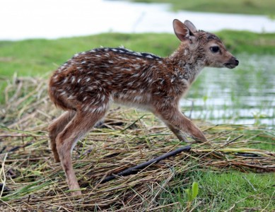 CATERS_BOY_SAVES_BABY_DEER_FROM_DROWNING_12-1024x789