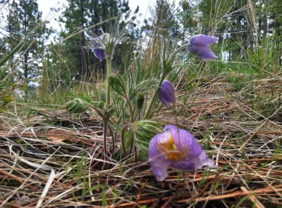 Pasque-Flower-Group