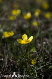 Spring-Wildflowers-Montana-2