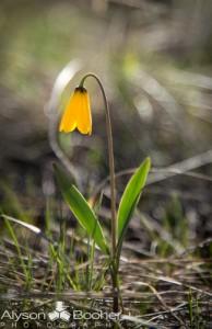 Spring-Wildflowers-Montana-3