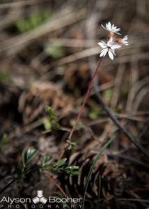 Spring-Wildflowers-Montana-4