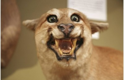 bad-taxidermy-mountain-lion