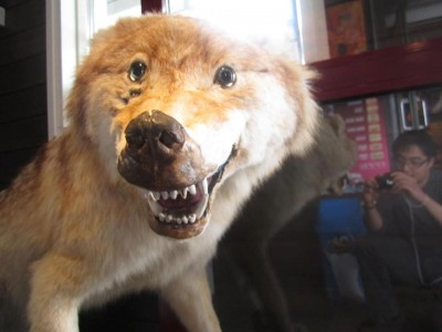 bad-taxidermy-wolf