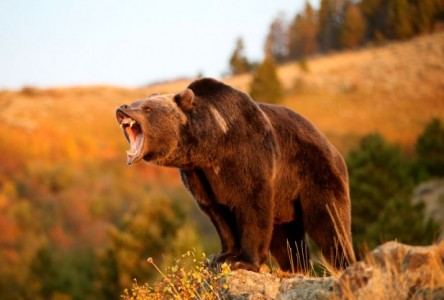 grizzlybear-617x416
