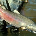 6_29_13-chinook-salmon