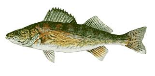 walleyefish