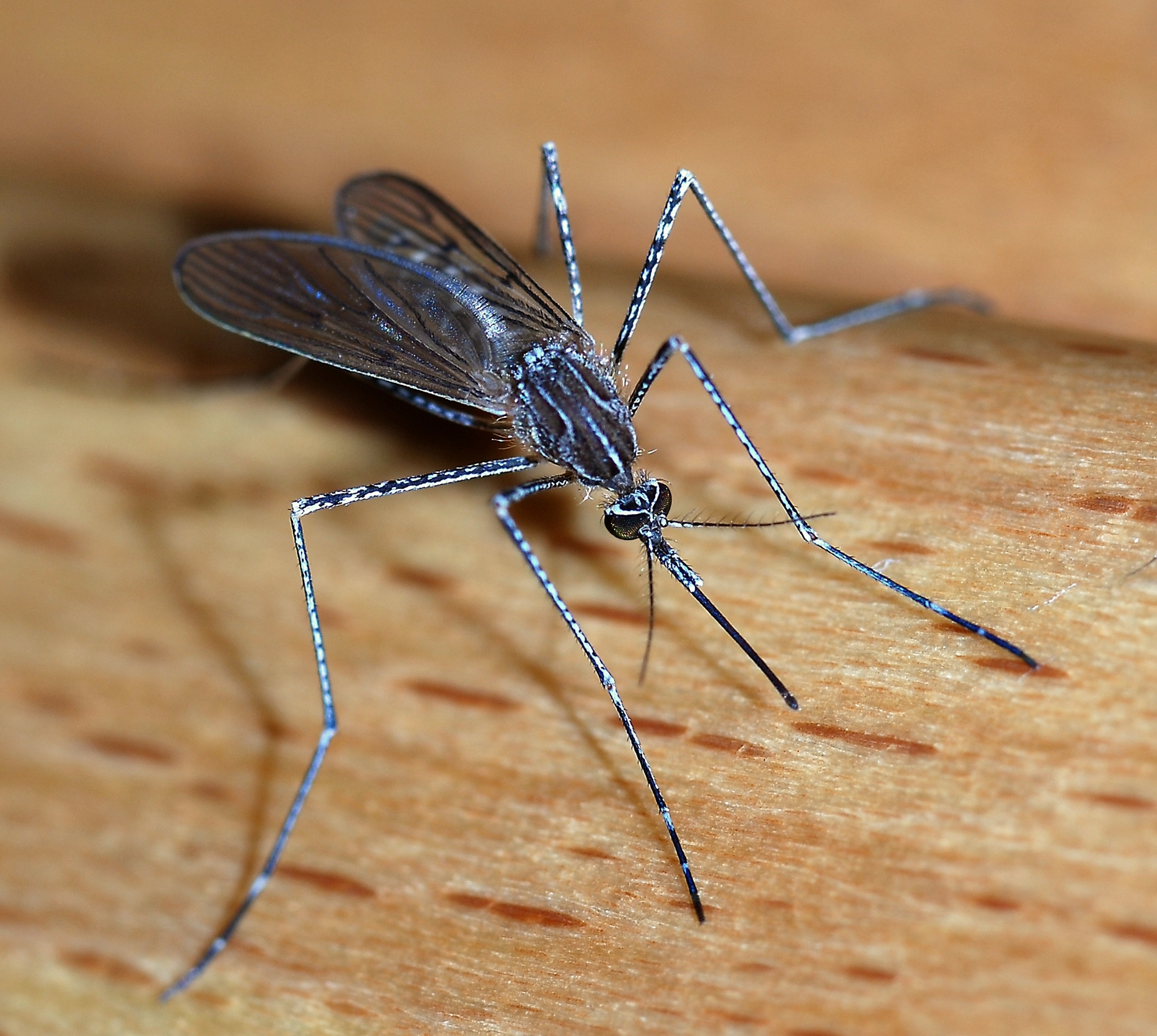 Repel Mosquitos Naturally with These Plants! | Montana Hunting and ...