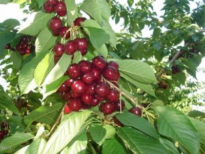 flathead-cherries