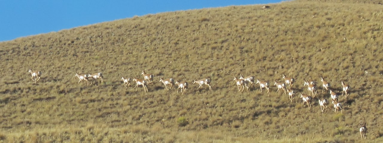 antelope archery elk hunt2